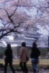 Oshironosakura